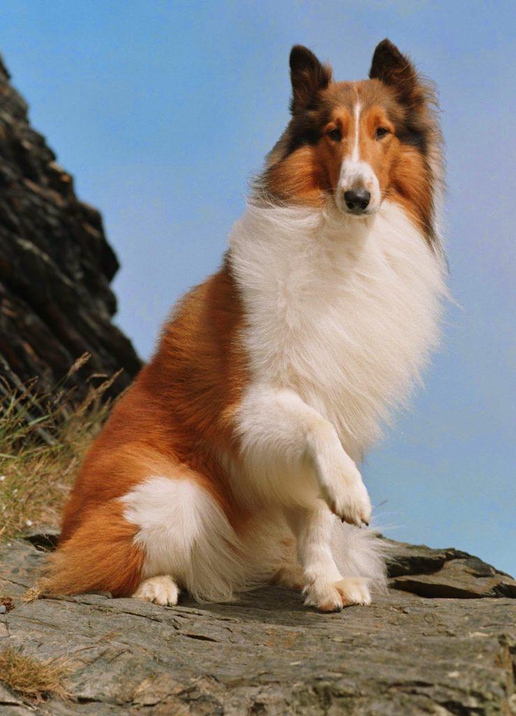 cachorro de raça lassie