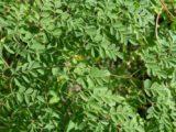 folhas de moringa
