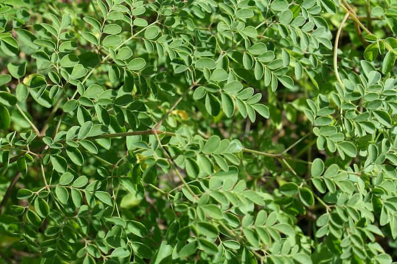 O Milagre das Folhas de Moringa