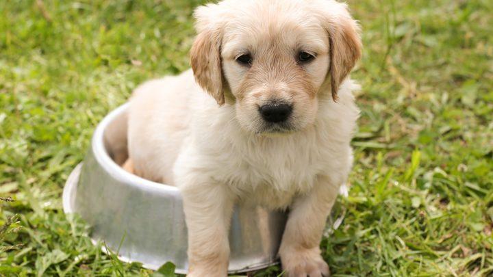 Fatos do cuidado do cão que todo proprietário do golden retriever precisa saber